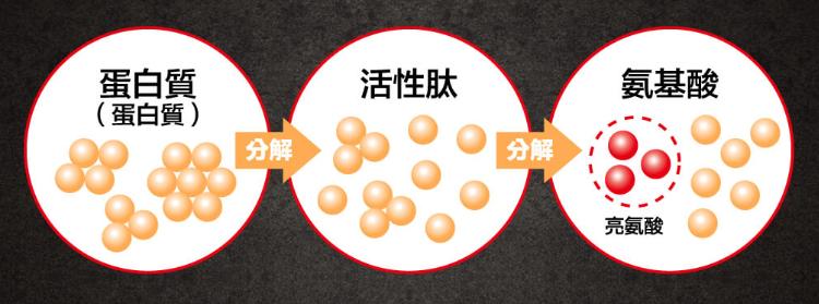 攝取蛋白粉要通過活性肽→氨基酸→亮氨酸這個分解步驟。