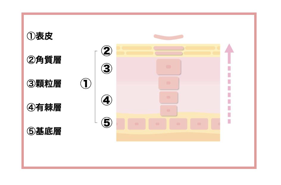 角質層,顆粒層,多刺層,基底層4