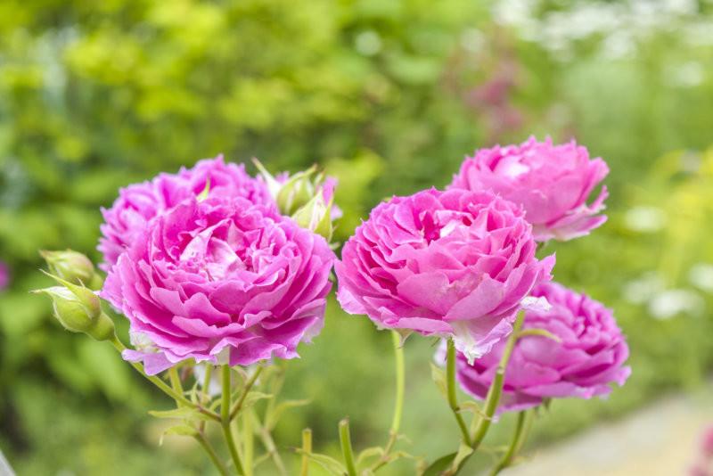 夏季的香草園不只是香草也百花齊放