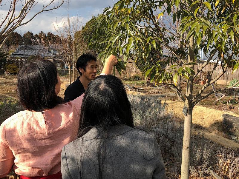 由肉桂樹採取葉子