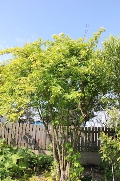 傳說在根莖中棲息著妖精的接骨木樹