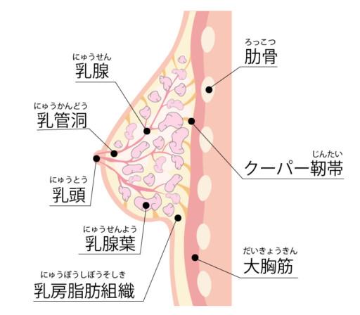 胸部的構造